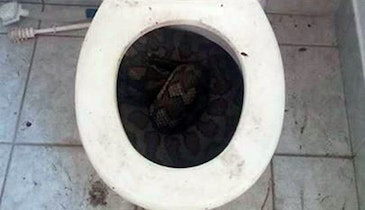 Snakes in a Toilet