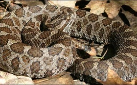 HDD Benefits Project in Area of Endangered Snake Species