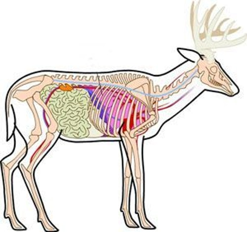 Commit to memory the position of a deer's leg bone and shoulder (above); they don't cover the lungs. Don't aim 4 to 6 inches behind the front leg and low in the chest (below, red dots) because it typically results in a liver hit, or at best liver plus one lung. Instead, aim directly over the front leg, about one-third up from the belly line (green dots).