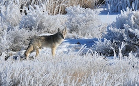 Op-Ed: Hunting Midday Late-Season Predators
