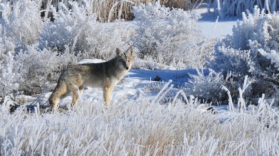 Op-Ed: Hunting Midday Late-Season Predators