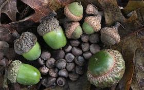 Acorns: Why Do Deer Love Deez Nuts?