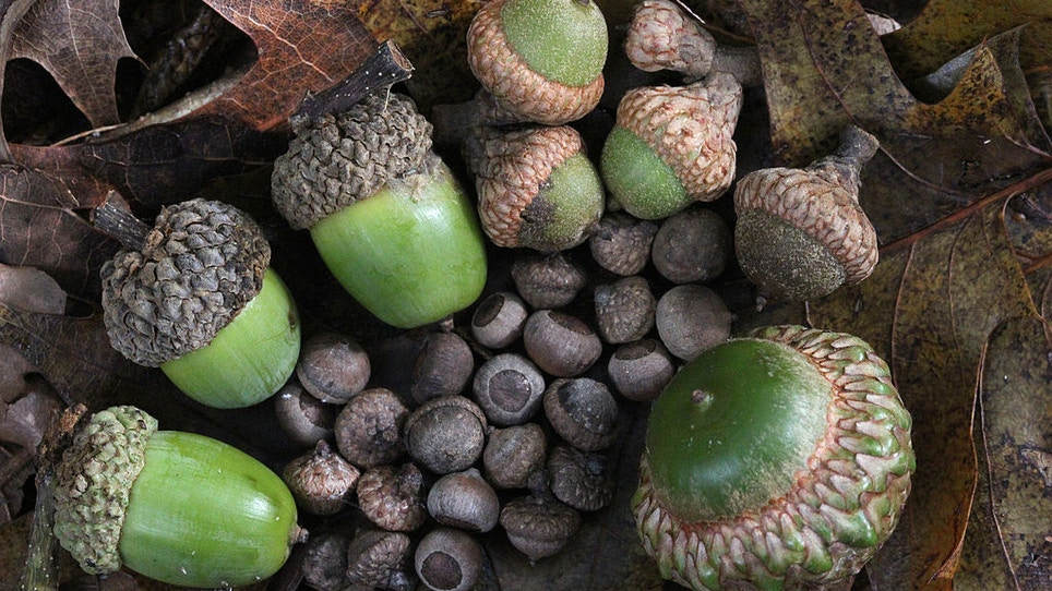 Acorns: Why Do Deer Love Deez Nuts?