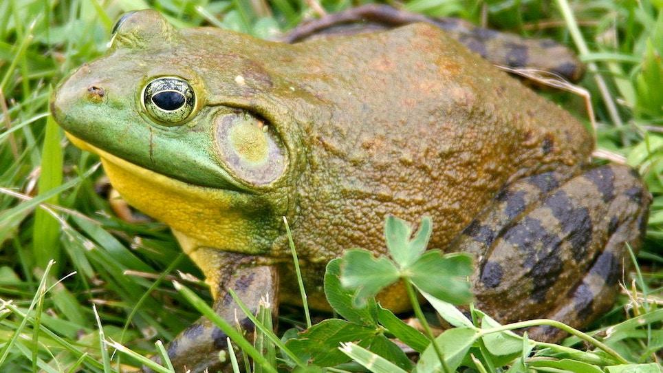 Frog Gigging 3-Part Series: Bullfrog Basics and the Population Paradox