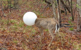Deer With Head Caught In Light Globe Rescued