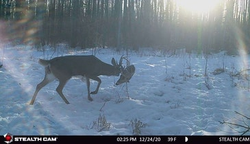 Locked Whitetail Buck Survives While His Opponent is Killed and Eaten by Coyotes