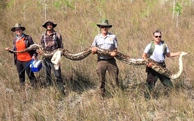 Another Terrifying Record Burmese Python Captured in Florida