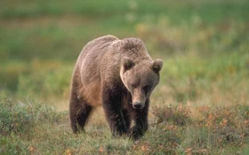 Grizzly bear hunting could soon return to the lower 48
