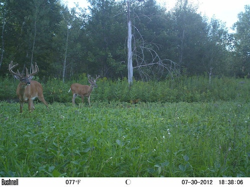 The author's soybean food plots in Wisconsin drew many whitetails during summer, including some big bucks, but because the plots were small (quarter-acre to half-acre), deer consumed nearly all the soybean leaves before archery opener.