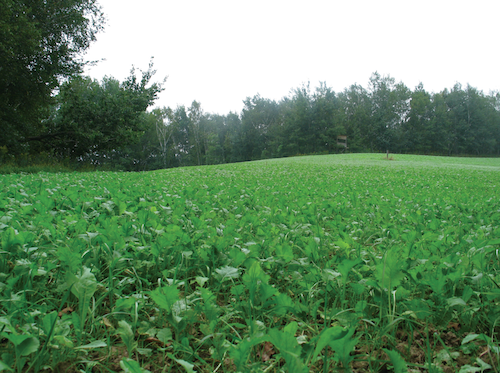 Food plot expert and Big Rack Trophy Products owner, Jeff Helmers, believes in planting blends designed to offer nutrition throughout the entire year. This plot is planted in Big Rack's Fall/Winter Extreme blend. Photo: Big Rack Trophy Products.