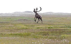 National Park Service Acknowledges Lingering Questions about Reindeer, Caribou and Flight