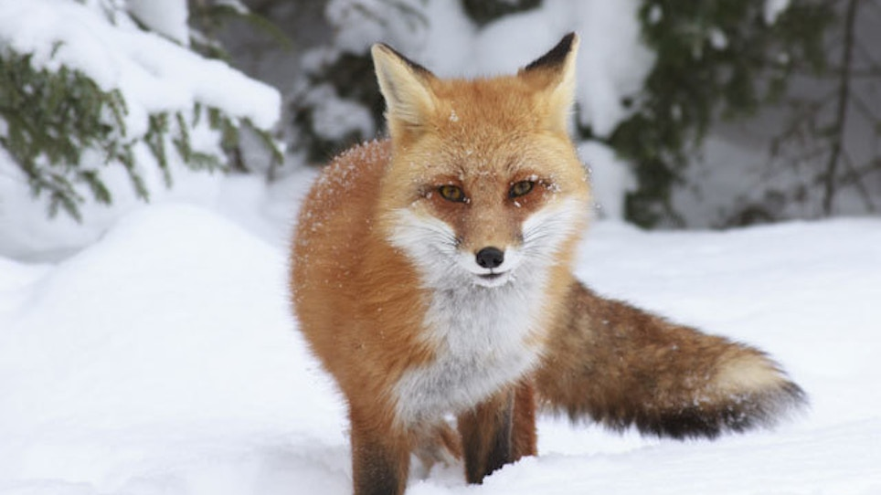 Use fox calling research to take more fur this year
