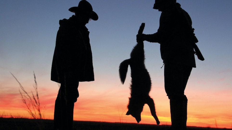 Does shooting coyotes affect deer populations?