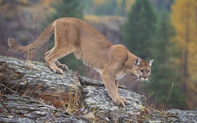 New Mexico Man Keeps Road Kill Mountain Lion As Trophy