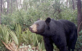 Florida Wildlife Commissioners Approve Bear Hunting