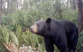 Amid Protests, Bear Hunt Begins In Florida