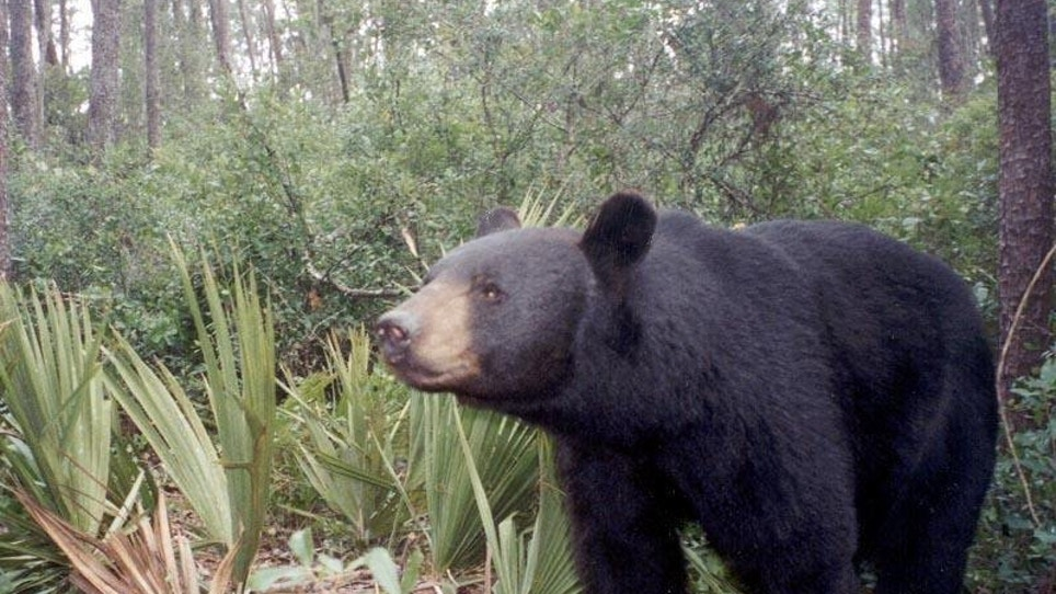Florida Bear Hunt Ends After 2 Days