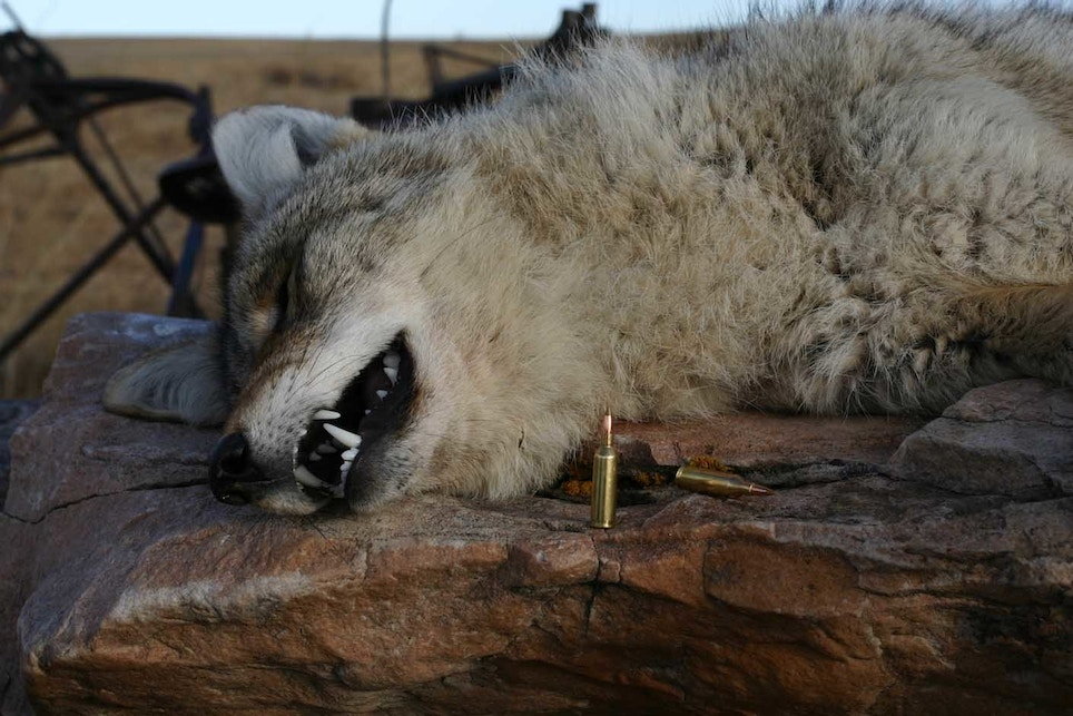 Four Top-Shelf Bullets for Anchoring Coyotes