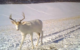VIDEO: Albino whitetail buck sheds its antlers on film
