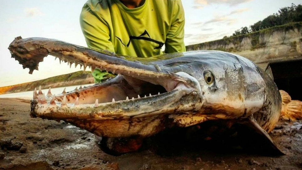 Fighting Dinosaurs — Alligator Gar — on Hook and Line