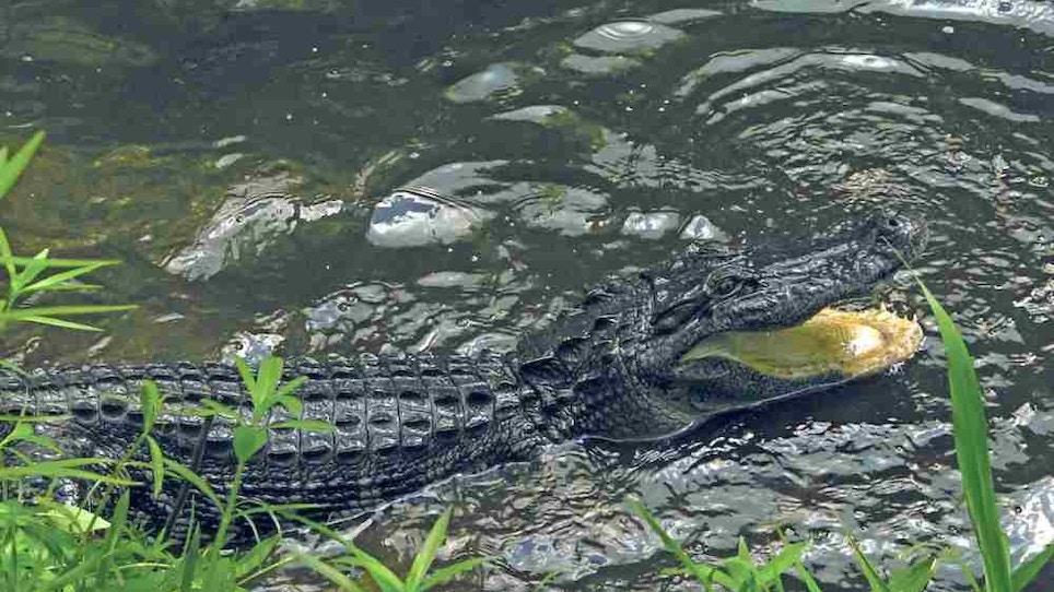 Where to Hunt Alligators