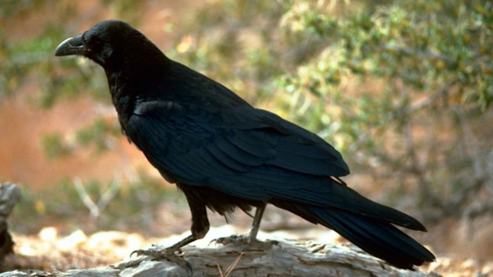 How to Prepare and Cook Crow