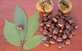 Chestnut Facts for Deer Hunters