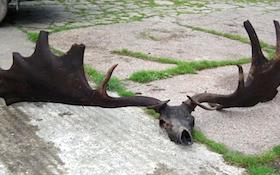 Skull of Extinct, Gigantic Irish Elk Netted by Anglers