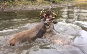 VIDEO: Two bucks are antler locked in a river