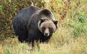Are Grizzly Bears Back?