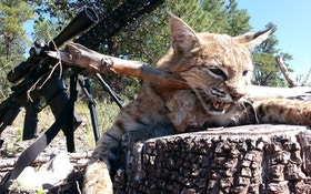 From The Readers: First Bobcat