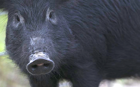 Wait, how many feral hogs did this state agency eliminate?