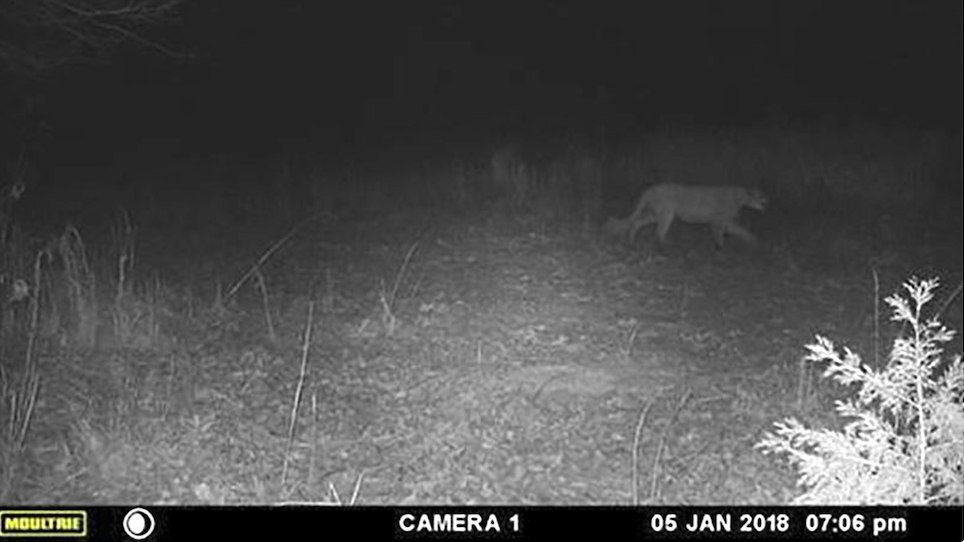 Mountain Lion Sighting Confirmed, Likely Roaming for Territory