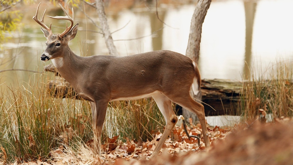 Wounded Whitetail Buck Attacks Hunter, Who Later Dies