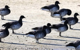 Multi-Year Research Study Into Atlantic Brant Migration, Breeding