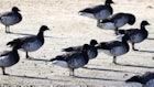 Multi-Year Research Study Into Atlantic Brant Migration, Breeding