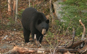 Top 10 Things To Remember When Calling Black Bears