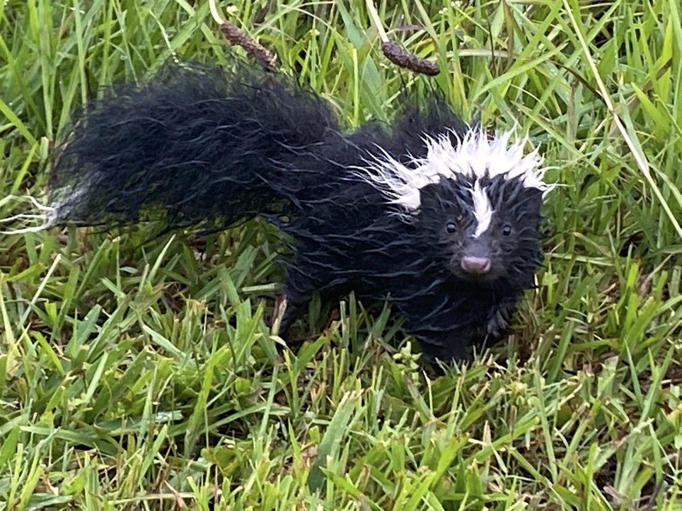 What Makes Skunks Smell Bad?