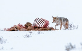 Proven tips to effectively bait, hunt coyotes