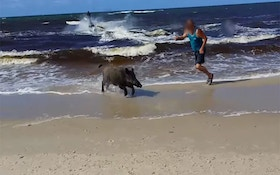 Boar Emerges From Sea, Attacks Beachgoers