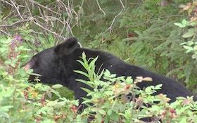 Bill In Minnesota Legislature Would Ban Hand-Feeding Bears