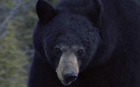 Bear Mauls Dog In Central Florida