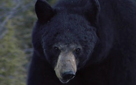 Black Bear Attacks Elderly Montana Woman
