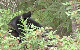 Ohio Black Bear Sightings Dip Slightly In 2014
