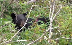 Bear Chases Runners In Connecticut, Euthanasia Planned