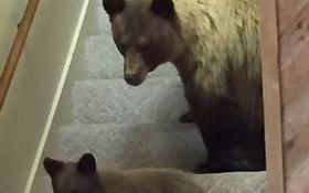 Black Bear, Cub Break Into Wyoming House