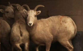 Bighorn Sheep Released For Relocation Program