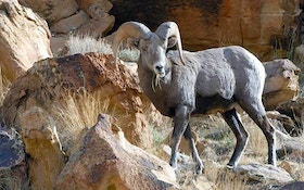 Board Approves Bighorn Sheep 10-Year Management Plan