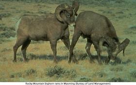 Nevada Pursues Ewe Hunt To Cull Bighorn Sheep