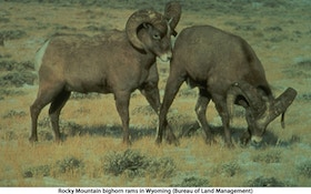 Scientists study die-offs among bighorn sheep